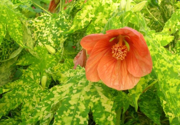 Variegated Peach Flowering Maple Seeds Abutilon Seedwisecom