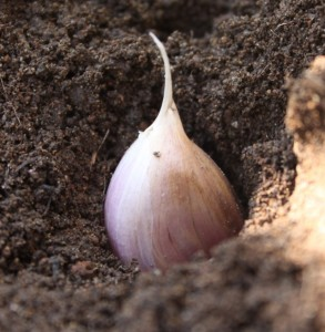 Planting a garlic clove. (Courtesy of MyLittleCity FoodGarden.com)