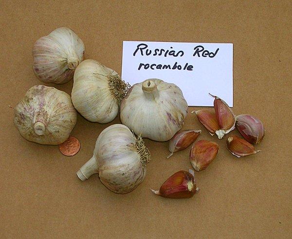 Russian Red Garlic Bulb (Teltanefarm.com)