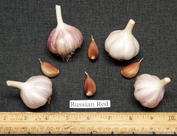 Russian Red Garlic