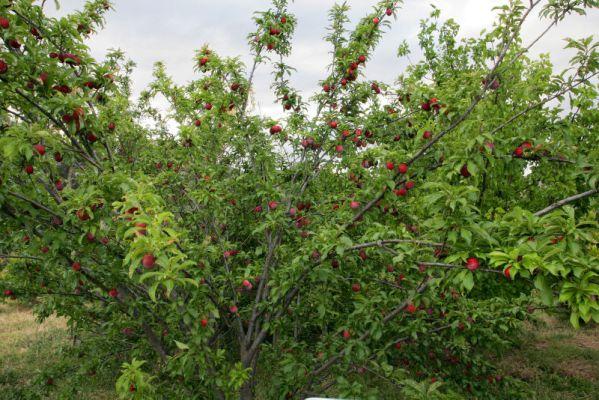 Santa Rosa Plum Tree bearing fruit