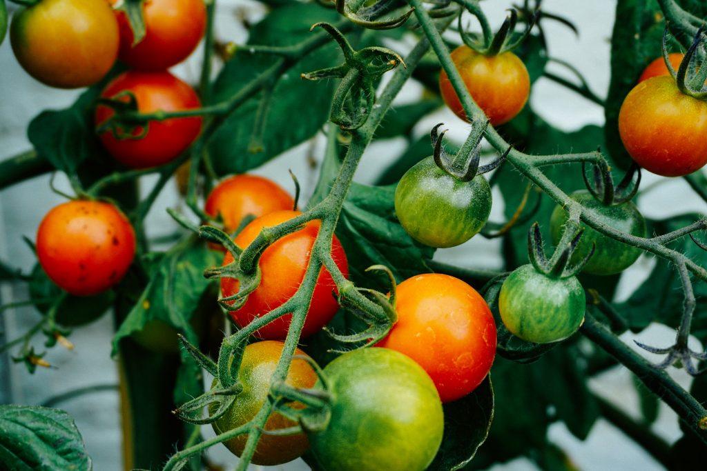Tomatoes on the vine in vegetable garden