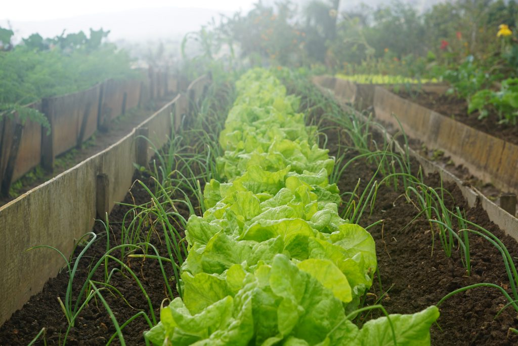 Rows of lettuce and onion in vegetable garden