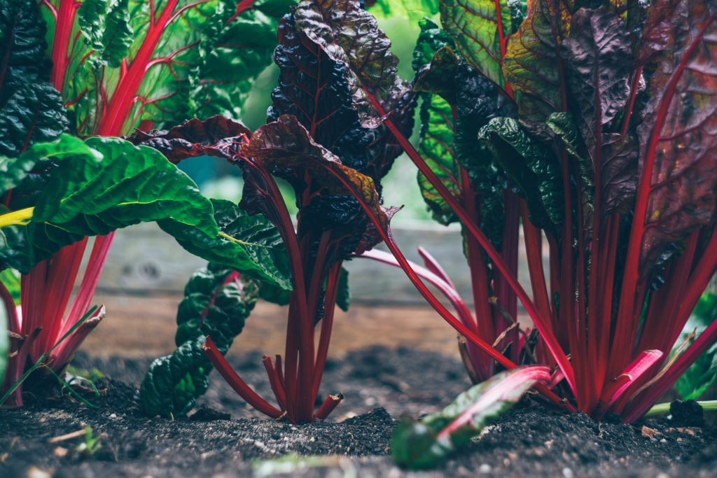 Bunches of chard in a vegetable garden